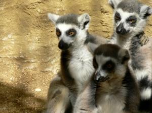 Caged lemurs