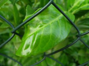 Leaf behind bars