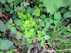 Forest floor with sorrel & nettle